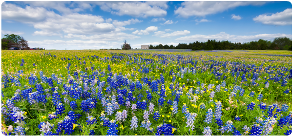 field of bluebonnets